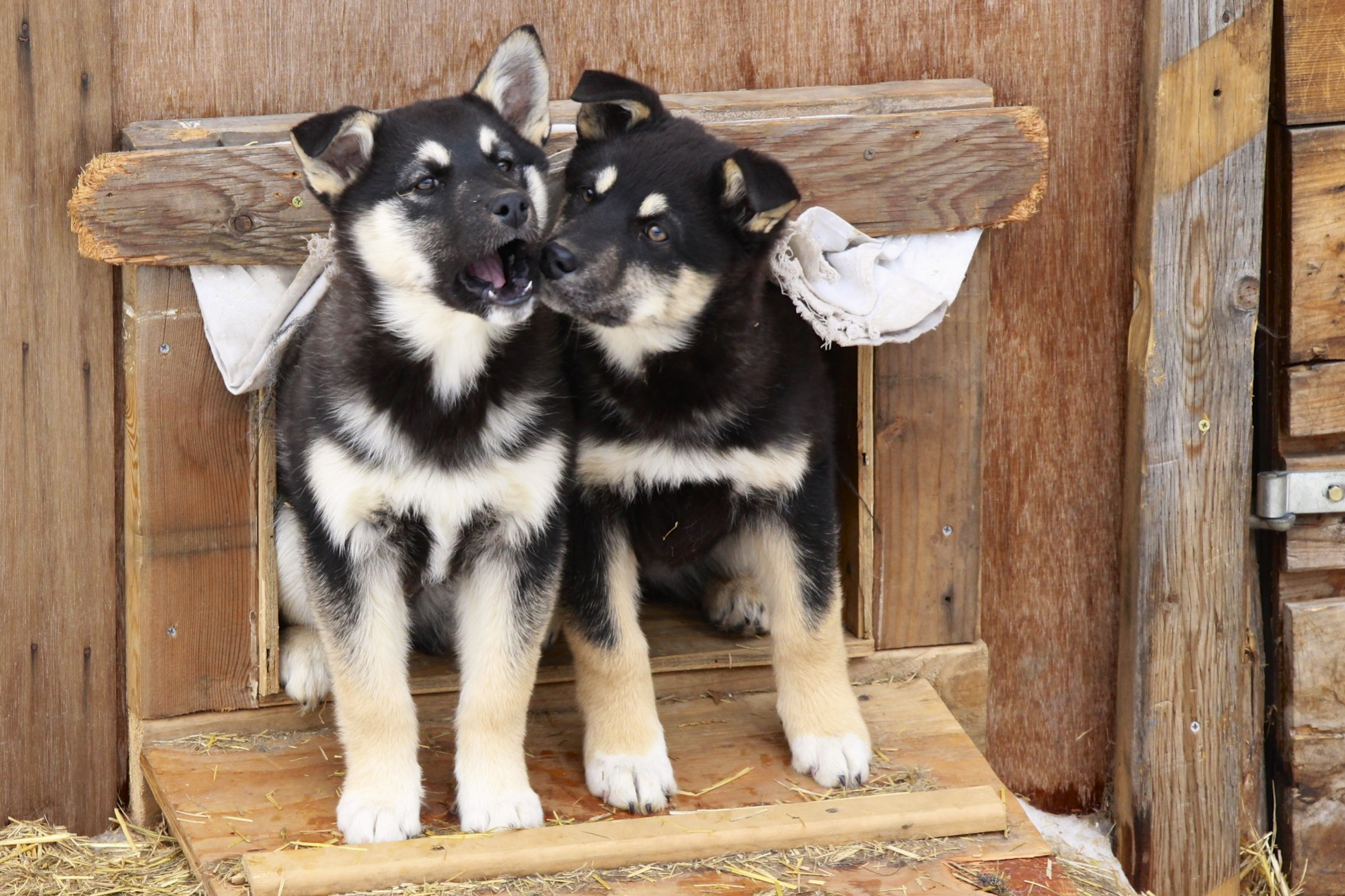 Sled Dog Puppies - Summer Kennel Tour